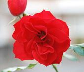 バラのイメージ写真