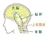 上部頸椎と脳幹