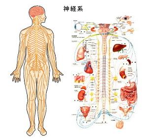 神経系のイラスト